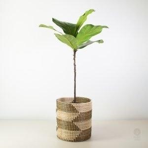 Indoor Plants Auckland House Plant Delivery Plantandpot Nz