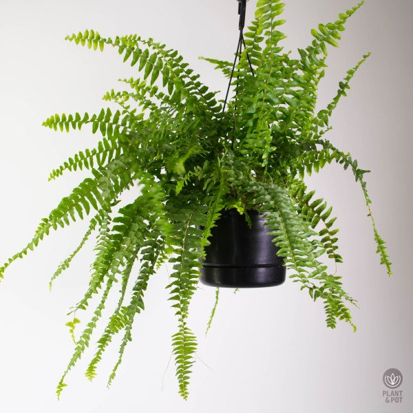 Boston Fern hanging