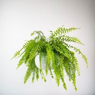 Boston Fern, Nephrolepis