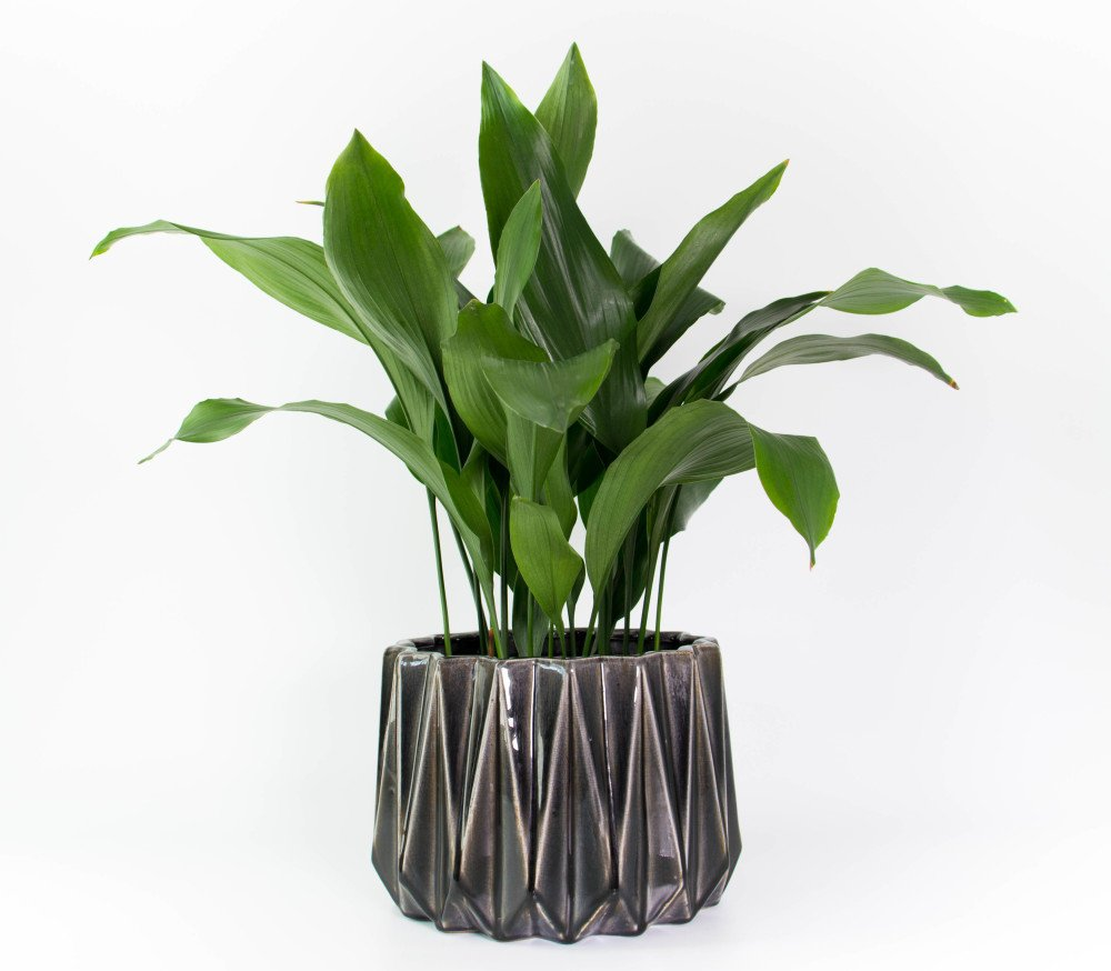 Cast Iron Plant In Grey Geometric Planter Plant And Pot Nz