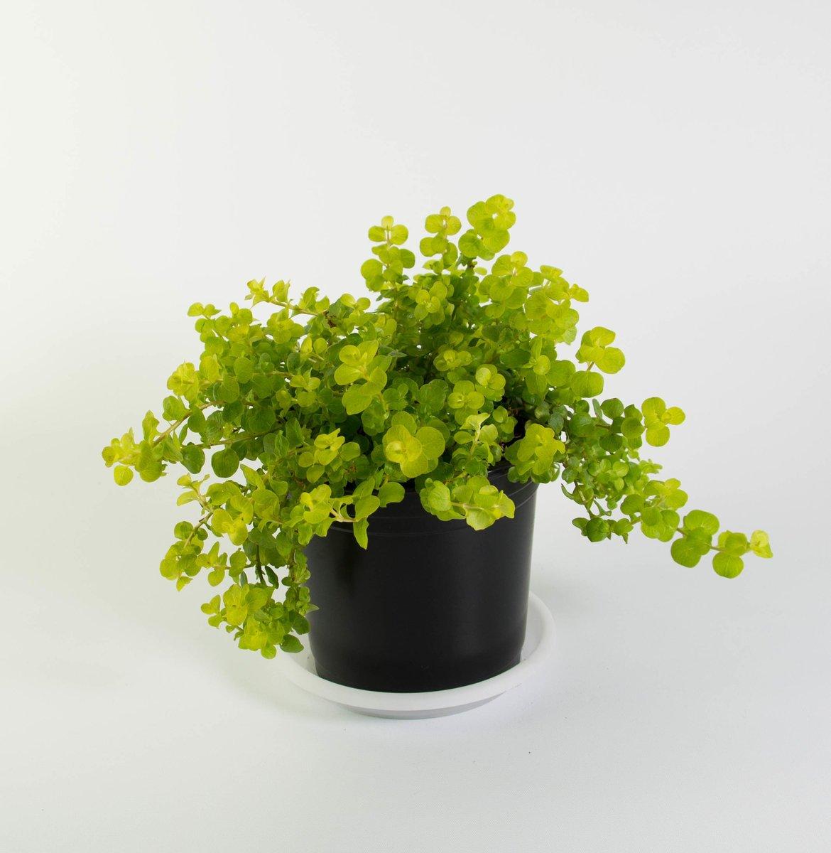 "Picture of Goldilocks Moneywort - Lysimachia - Creeping Jenny - 2 (Two) Live Plant Fit 4"" Pot"