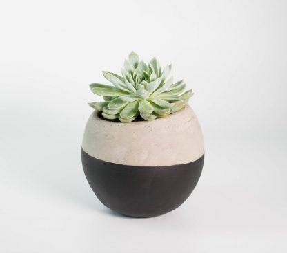 Succulent, Echeveria, Echeveria Violet Queen