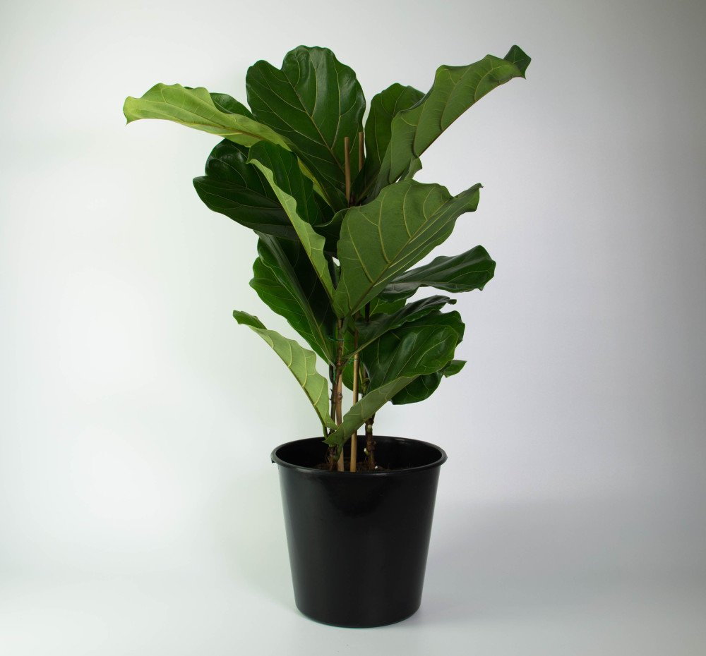 Fiddle Leaf Fig Large And Lovely Plantandpot Nz