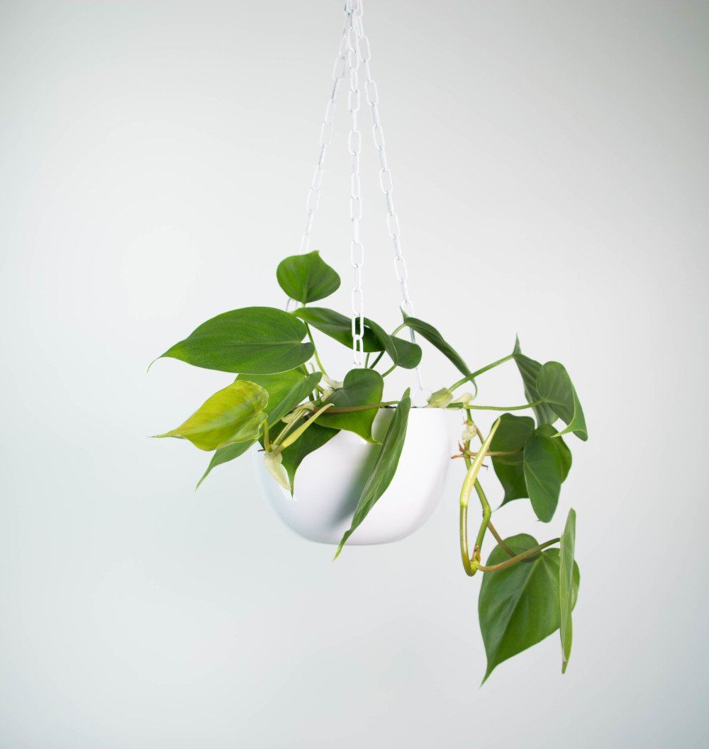 Sweetheart Plant In White Hanging Planter Plantandpot Nz