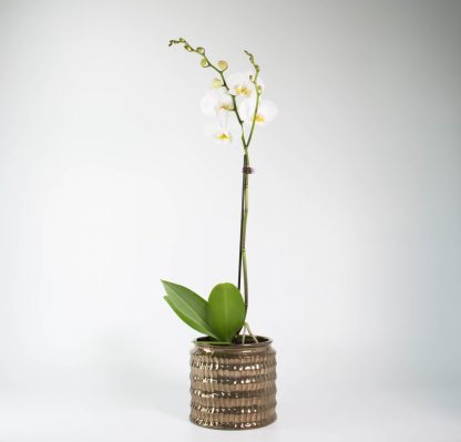 Orchid in Celestial Planter