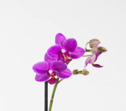 Petite Moth Orchid Blooms