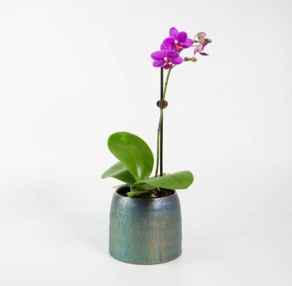 Dwarf Moth Orchid