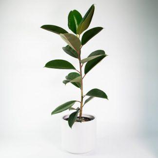 Rubber Tree, Ficus Robusta, Ficus Elastica