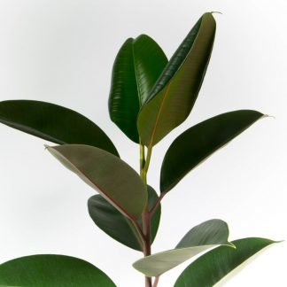 Foliage Close-Up of Ficus Robusta, the classic green Rubber Tree