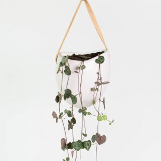Chain of Hearts, String of Hearts, Ceropegia Woodii