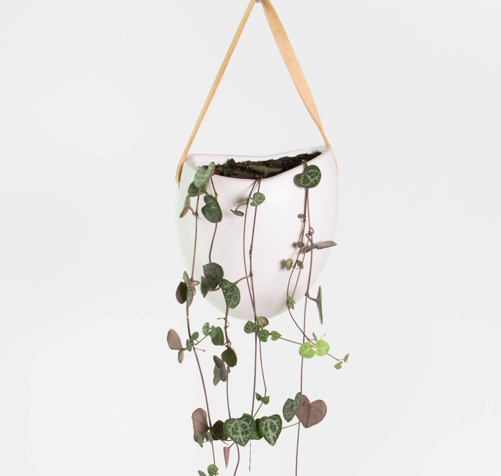 planters tall with Chain Of Hearts Wall Hung Planter on Laurus Nobilis Bay Tree 1 4 Standards Pair Of With Twisted Stems likewise 10 Reasons Plants In Home furthermore Echeveria Lola further Mammoth Sunflower Seed as well Watch.