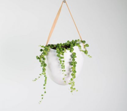 String of Pearls Plant, Senecio Rowleyanus, String of Peas, String of Beads.