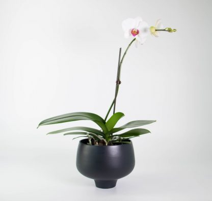Orchid in Black Pedestal Pot