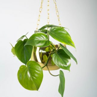 Heart Leaf Philodendron, Philodendron Scandens, Sweetheart Plant, Heart Shape Philodendron, Heart Shaped Indoor Plant