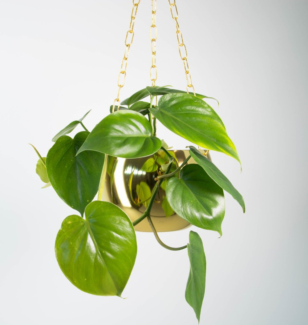 sweetheart plant in brass hanging planter plant and pot nz. Black Bedroom Furniture Sets. Home Design Ideas