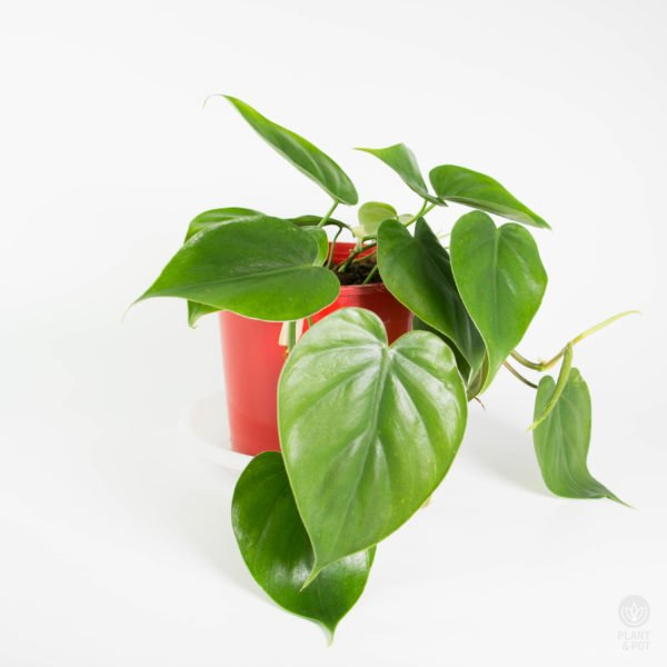 Heart Leaf Philodendron, Philodendron Scandens, Sweetheart Plant, Heart Shape Philodendron