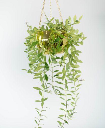 Aeschynanthus Parvafolium, Lipstick Plant