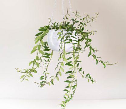 Lipstick Plant, Aeschynanthus Parvafolia