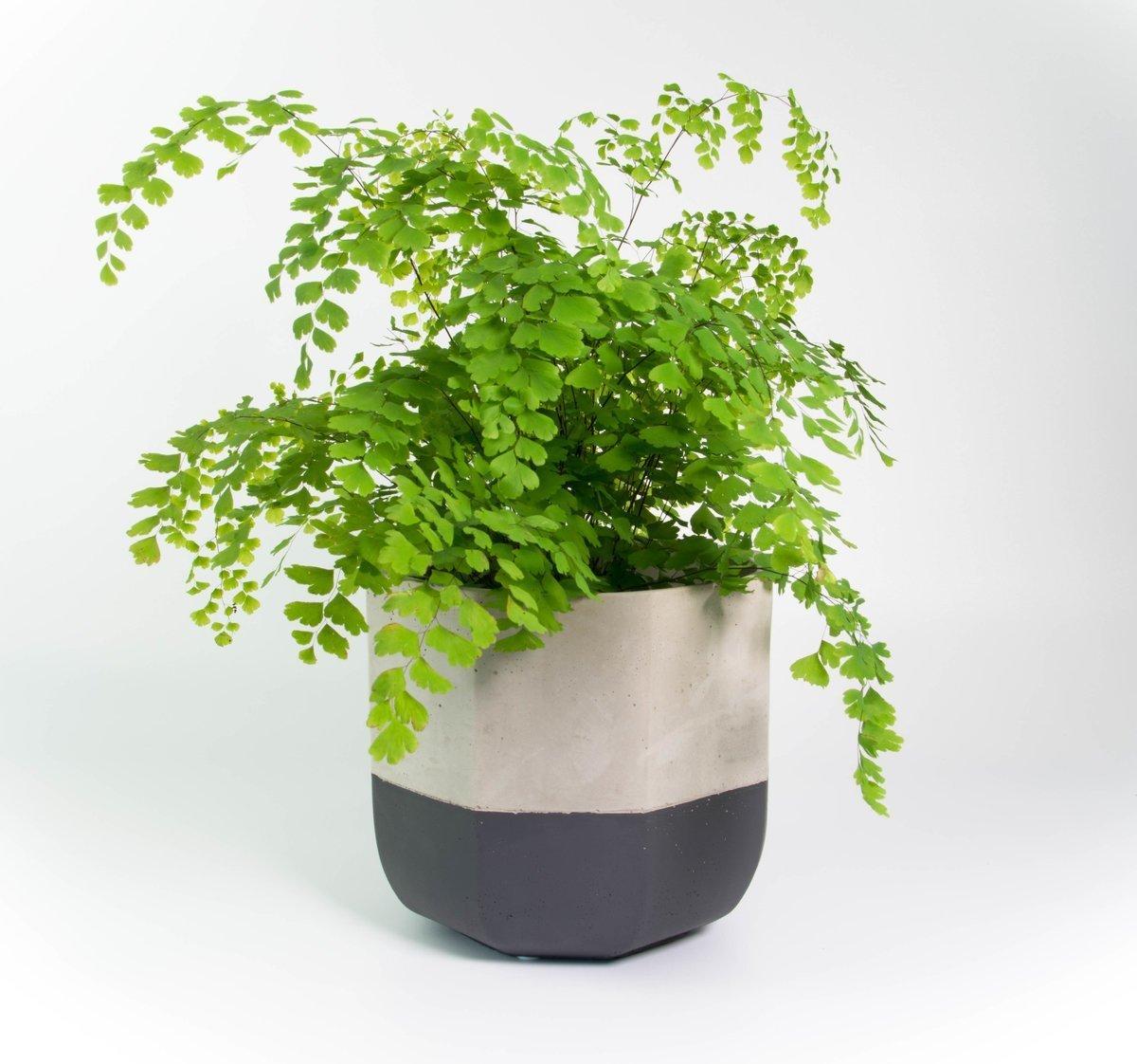 Indoor Window Planter Maidenhair Fern In The Concrete Monty Pot Plantandpot Nz