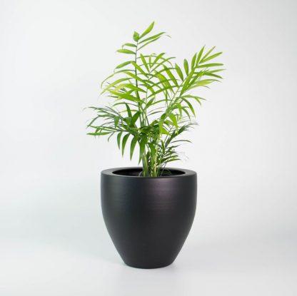 Parlour Palm, Chamaedorea elegans