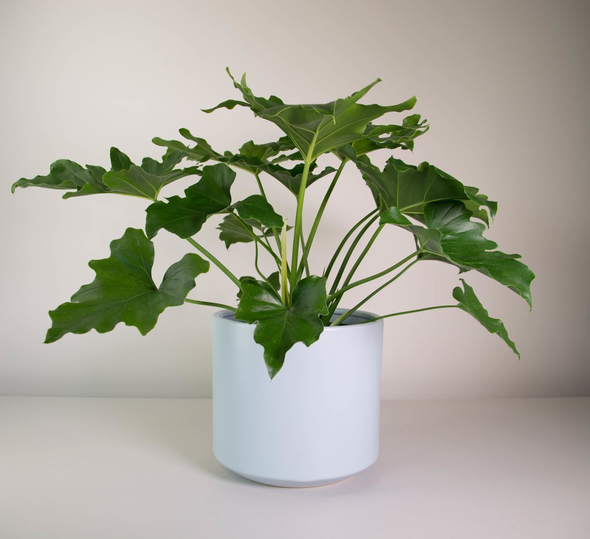 philodendron selloum in grey fredrik pot plant and pot nz. Black Bedroom Furniture Sets. Home Design Ideas