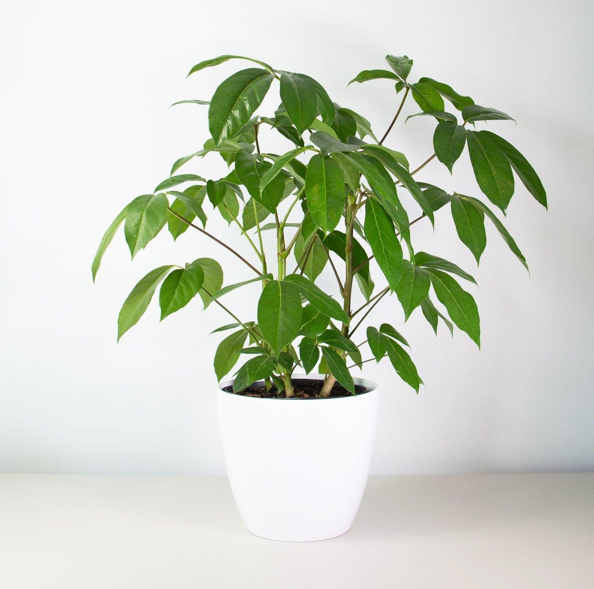 Schefflera Amate Plant And Pot Nz