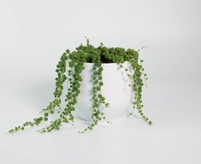 String of Pearls, Senecio Rowleyanus, String of Peas, String of Beads.