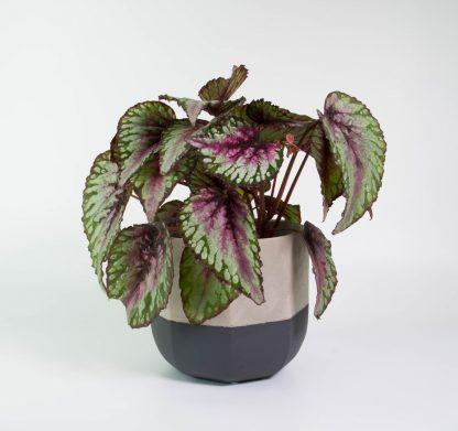 Begonia Rex Salsa