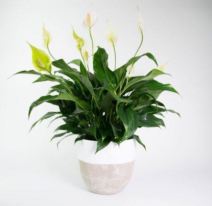 Spathiphyllum, Peace Lily, Concrete Pot, Concrete Planter