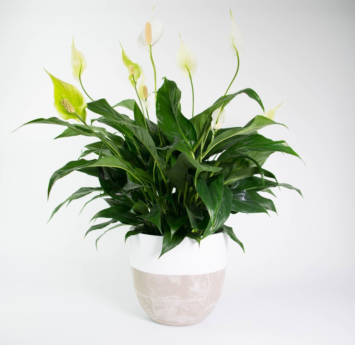 Peace Lily In Concrete Dipped Pot Plantandpot