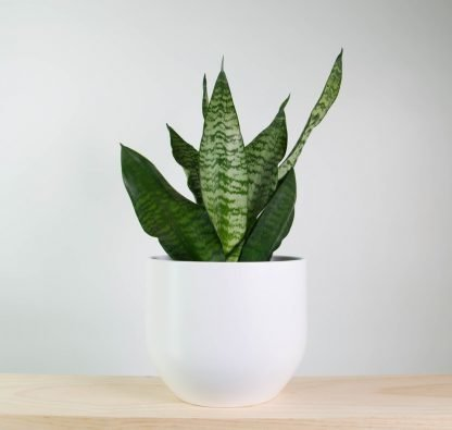 snake plant, white plant pot, pure white pot, white planter, indoor plant