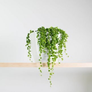 String of Pearls Plant, White Pot, Plant Gift