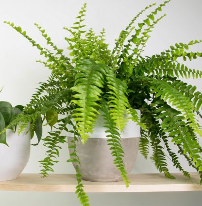 Boston Fern, Concrete Plant Pot