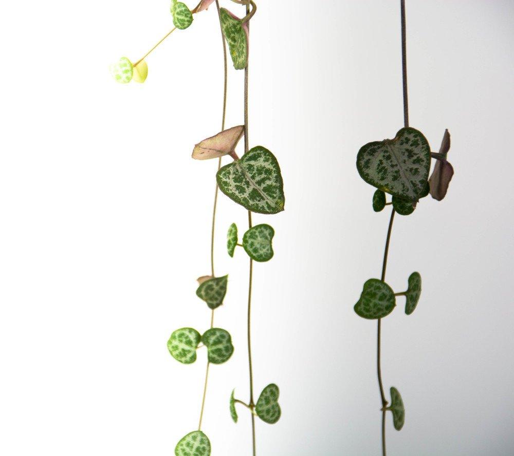 Chain of Hearts Plant in Black Pedestal Pot - plantandpot.nz