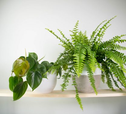 heart leaf philodendron, sweetheart plant, boston fern, urban jungle bundle,