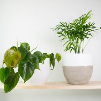 Heart Leaf Philodendron, Sweetheart Plant, Parlour Palm