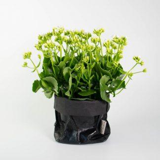 Kalanchoe, Flowering Plant Gift, Black Uashmama Bag
