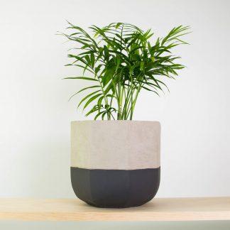 Parlour Palm, Concrete Plant Pot