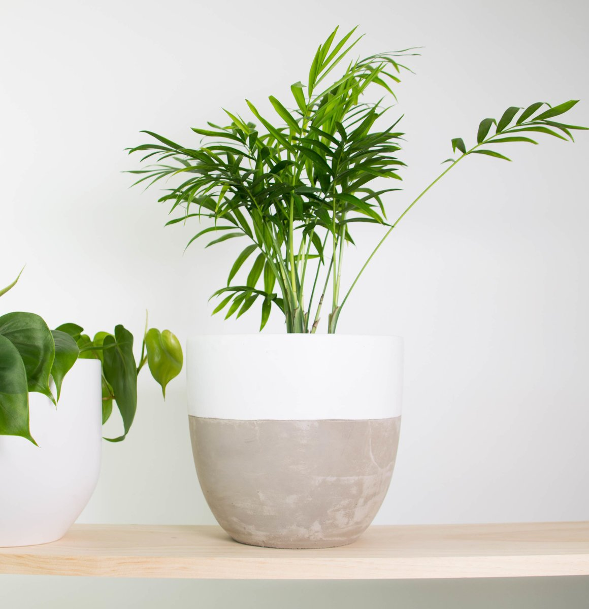 Parlour Palm In White Dipped Concrete Pot