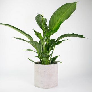 Modern Plant Gift, Peace Lily, Concrete Planter for Inside