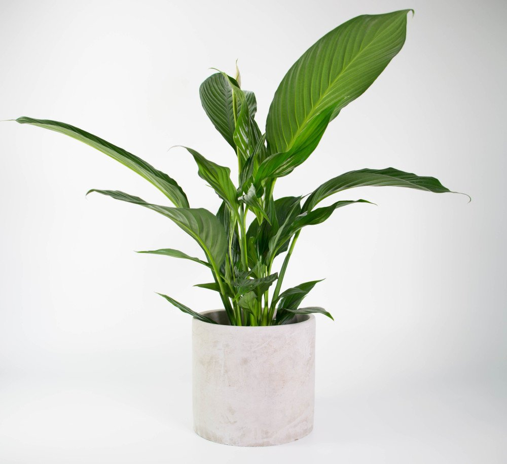 Modern Cement Plant : Peace lily in concrete planter modern fresh