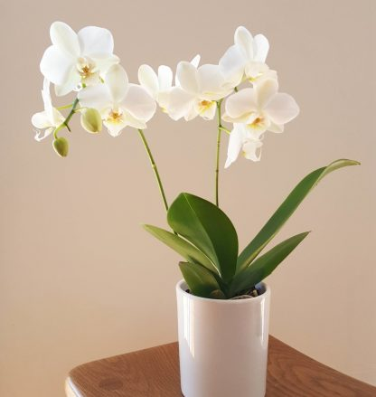 Petite Moth Orchid in White
