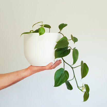 Sweetheart Plant in Pure White Pot, also known as the Heart Leaf Philodendron