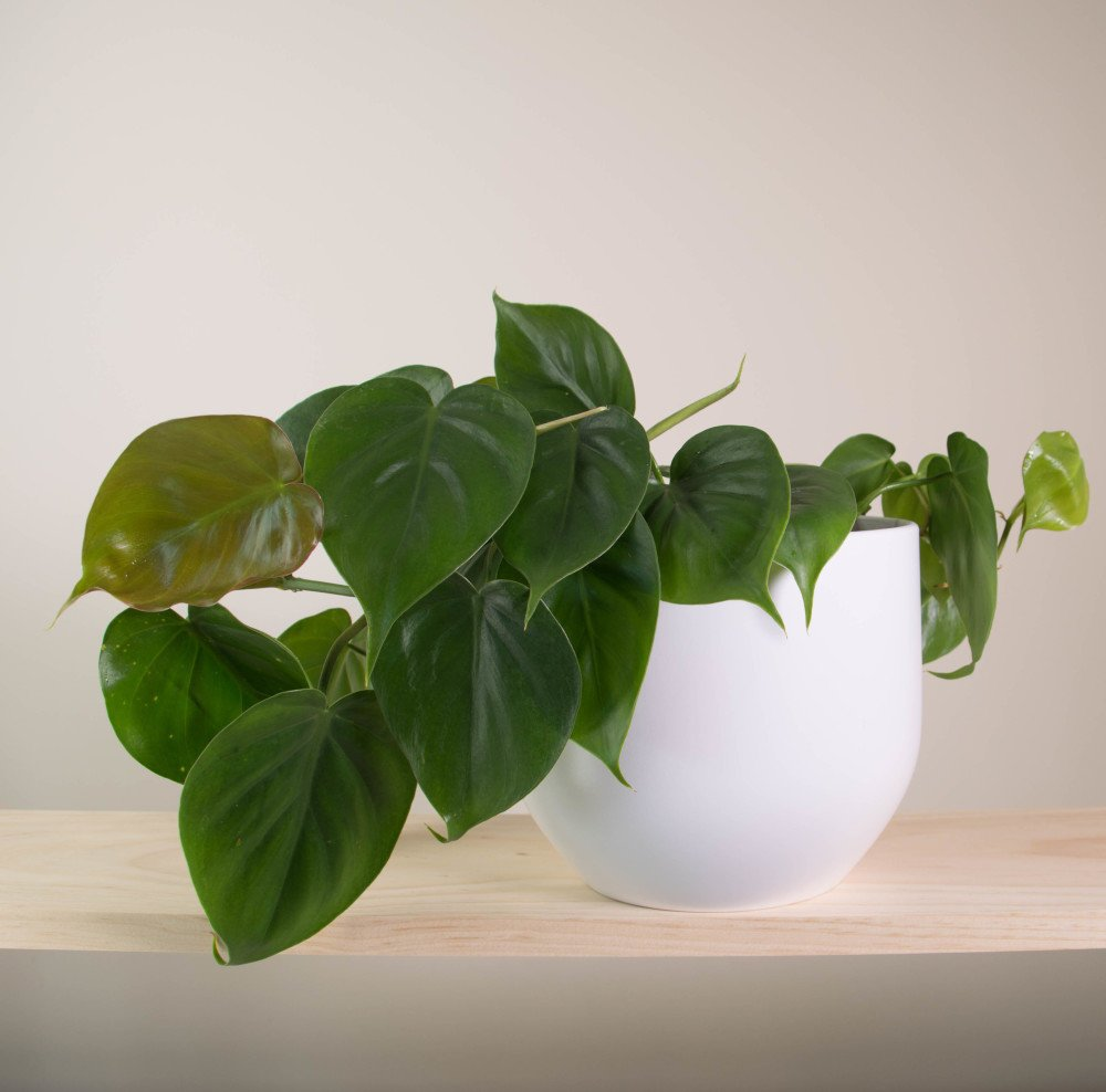 Sweetheart plant in pure white pot for Easy care plants for pots