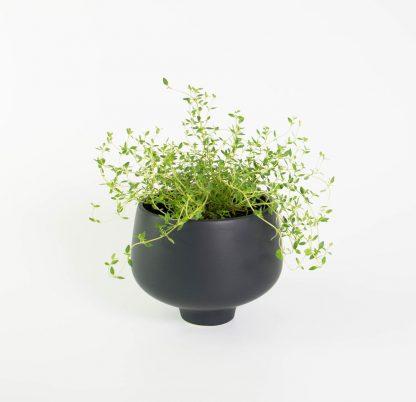 Thyme in Matt Black Pedestal Pot