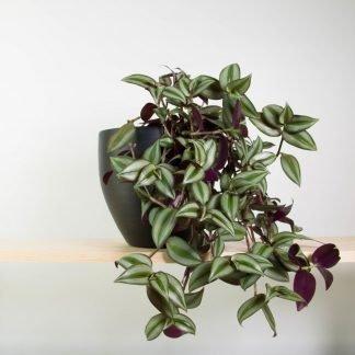 Tradescantia Zebrina in Black Pot