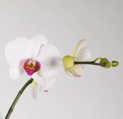 White Moth Orchid Pink Throat