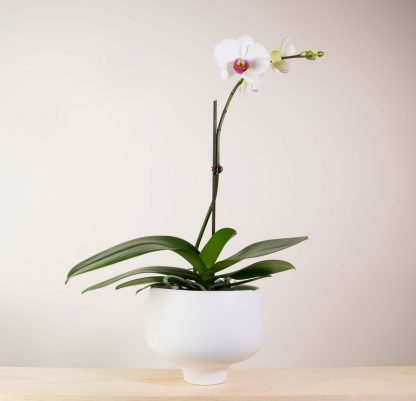 Orchid in Warm White Pedestal Pot