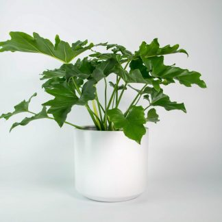 Philodendron Selloum in White Pot
