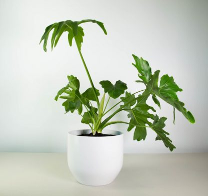 Philodendron Selloum in Pure White Pot 22cm